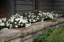 F-white-roses.jpg